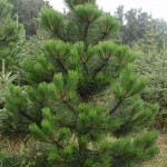 Záhradkár Pezinok - predaj vianočných stromčekov